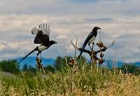 Magpies Taking Flight
