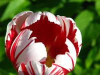 Striped Tulip 2463