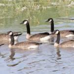 """""""Goose"""" by cameragal"""
