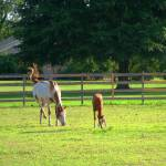 """Mare and Colt Grazing"" by PamelaJoy"