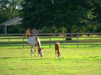 Mare and Colt Grazing