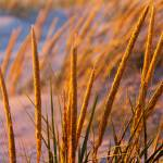 """Golden Dune Grass"" by sterk"