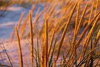 Golden Dune Grass