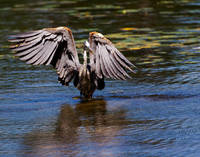 Blue Heron Display