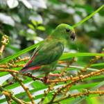 """Blue Crowned Hanging Parrot"" by laowti"