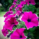 """Lovely Petunias"" by rewards4life"
