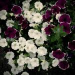 """Petunias"" by rewards4life"