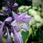 """Flowering Hosta"" by rewards4life"