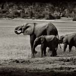 """Twin Elephants"" by photocell"