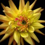 """Dahlia Corona"" by rewards4life"