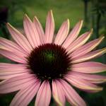 """Echinacea"" by rewards4life"