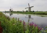 Windmills at Kinderdijk with Wildflowers