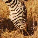 """Zebra close-up, Tarangire NP, Tanzania"" by KTildesley"