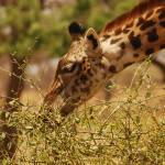 """Giraffe close-up in Tarangire NP, Tanzania"" by KTildesley"