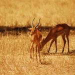 """""""Antelope in Tarangire NP, Tanzania"""" by KTildesley"""