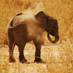 """Dust bath for baby Elephant, Tarangire NP"" by KTildesley"