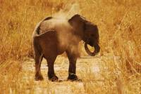 Dust bath for baby Elephant, Tarangire NP