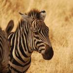 """""""Zebra in Tarangire NP, Tanzania"""" by KTildesley"""