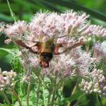 """Hummingbird Clearwing Moth"" by CherylCharette"