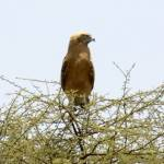 """Eagle in Africa"" by patgleasonphotography"