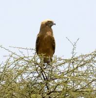 Eagle in Africa