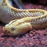 """""""Albino Rattlesnake"""" by RobertBertinoArt"""