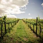"""""""Wine Country Vineyard in the Spring"""" by KellieOBrienEscapes"""