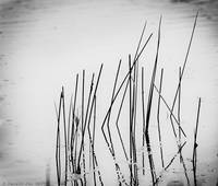 Day 358 (7-29)- Reeds in Water