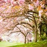 """Cherry Blossom Umbrella"" by KellieOBrienEscapes"