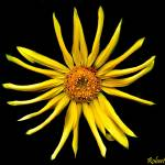 """A Yellow Flower on a Black Background."" by ROBERTSCOTTPHOTOGRAPHYY"