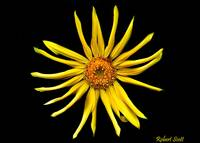A Yellow Flower on a Black Background.