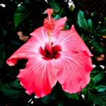 """A Very Red - Pink Hibiscus."" by ROBERTSCOTTPHOTOGRAPHYY"