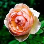 """A Peach of A Rose."" by ROBERTSCOTTPHOTOGRAPHYY"