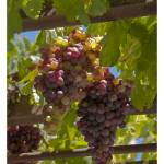 """Wine Grape Arbor"" by RobinCowles"