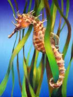 Seahorse in the Reeds II