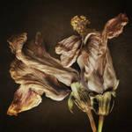"""Hibiscus Study II"" by dawnleblanc"