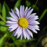 Botanical - Alpine Aster - Outdoors Floral