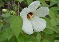 Swamp Rose Mallow - white