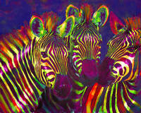 three rainbow zebras