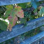 """Weathered Fence Entwined by Grapes"" by luv4pix"