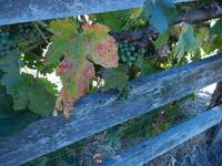 Weathered Fence Entwined by Grapes
