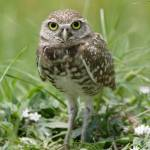 """Burrowing Owl #1 (IMG_2398)"" by jvandyke"
