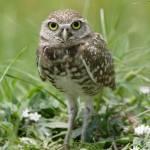 """Burrowing Owl #1 (IMG_2398)"" by jvandyke"