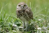 Burrowing Owl #1 (IMG_2398) by Jeff VanDyke