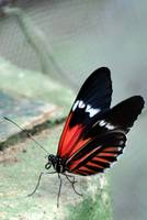 Bright Red and Black Butterfly