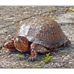 """Box Turtle"" by TamIshArt"