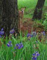 Fawn and Irises