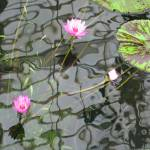 """""""Water Lily with reflection 2"""" by WuziCat"""
