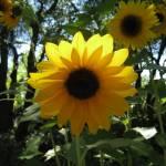 """""""Sunflower"""" by WuziCat"""