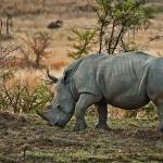 """DSC_238- White Rhino Grazing"" by photocell"